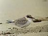 Least Tern, Talbut Marsh, Newport CA