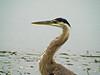 Great Blue Heron, Talbot Marsh, Newport CA