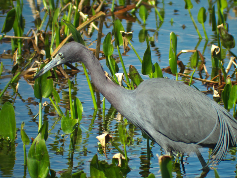 Little-blue Heron, Viera Wetlands, FL DiaScope 65FL