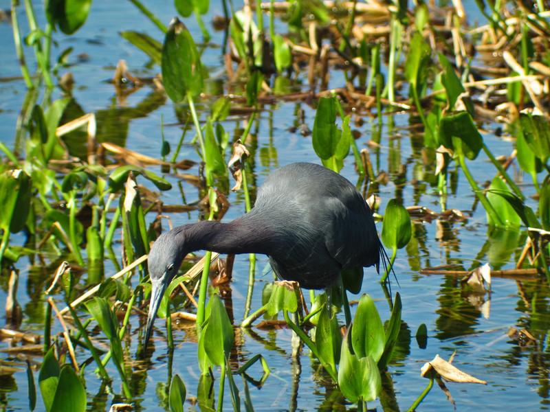 Little-blue Heron, Viera Wetlands, FL DiaScope 65FL