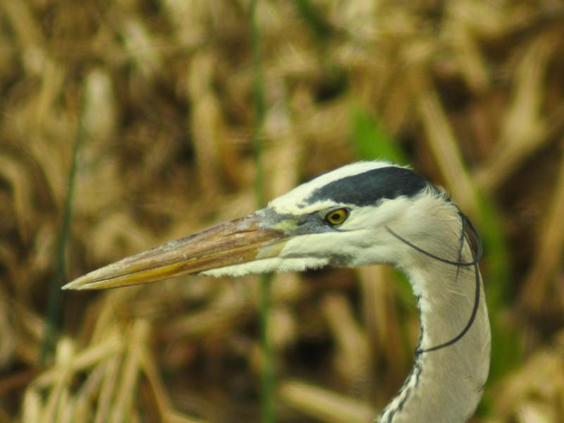 Great Blue Heron, Viera Wetlands, FL DiaScope 65FL