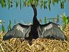 Anhinga, Viera Wetlands, FL DiaScope 65FL