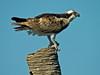 Osprey, Viera Wetlands, FL DiaScope 65FL