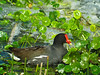 Common Moorehen, Viera Wetlands FL, DiaScope 65FL