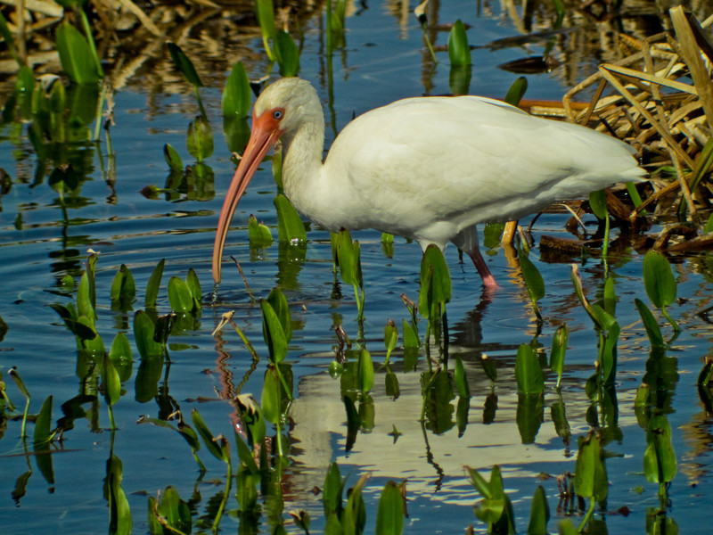 White Ibis, Viera Wetlands, FL DiaScope 65FL