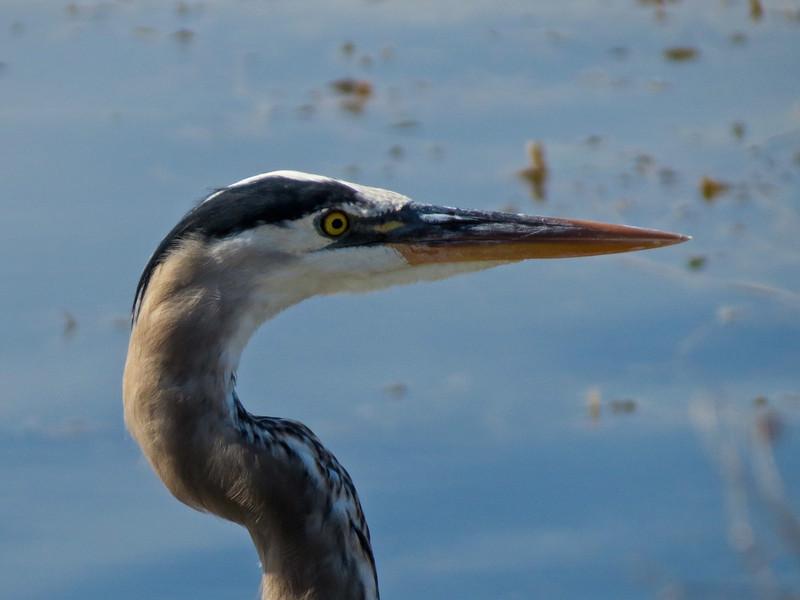 Great Blue Heron, Viera Wetlands, Melbourne FL