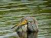 Tricolored Heron, Merritt Island NWR, Titusville FL