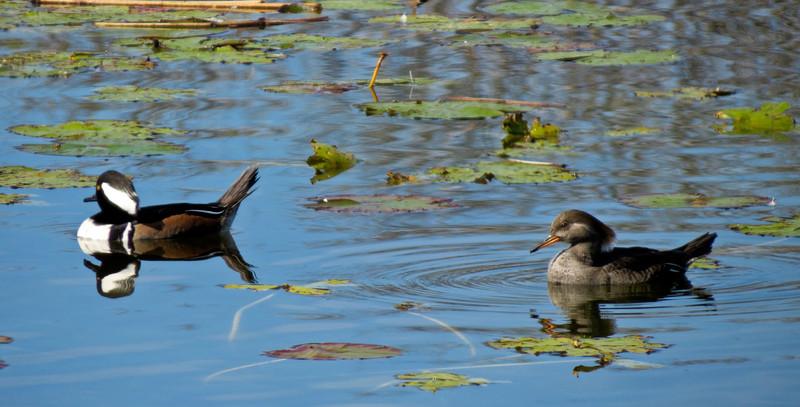 Hooded Merganser, Viera Wetlands, Melbourne FL