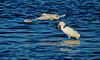 Snowy Egret, Merritt Island NWR, Titusville FL