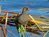 Female Purple Gallinule, Blue Heron Wetlands, Titusville FL