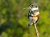 Belted Kingfisher, Merritt Island NWR, Titusville FL