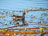 Common Moorhen, Blue Heron Wetlands, Titusville FL