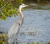 Great Blue Heron, Merritt Island NWR, Titusville FL
