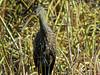 Limpkin, Viera Wetlands, Melbourne FL