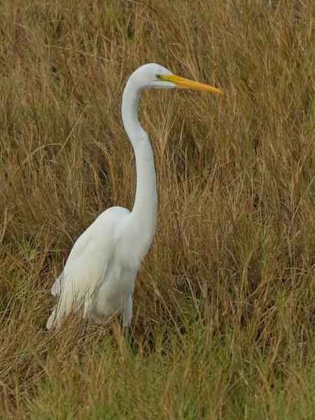 Great Egret, Merritt Island NWR, Titusville FL