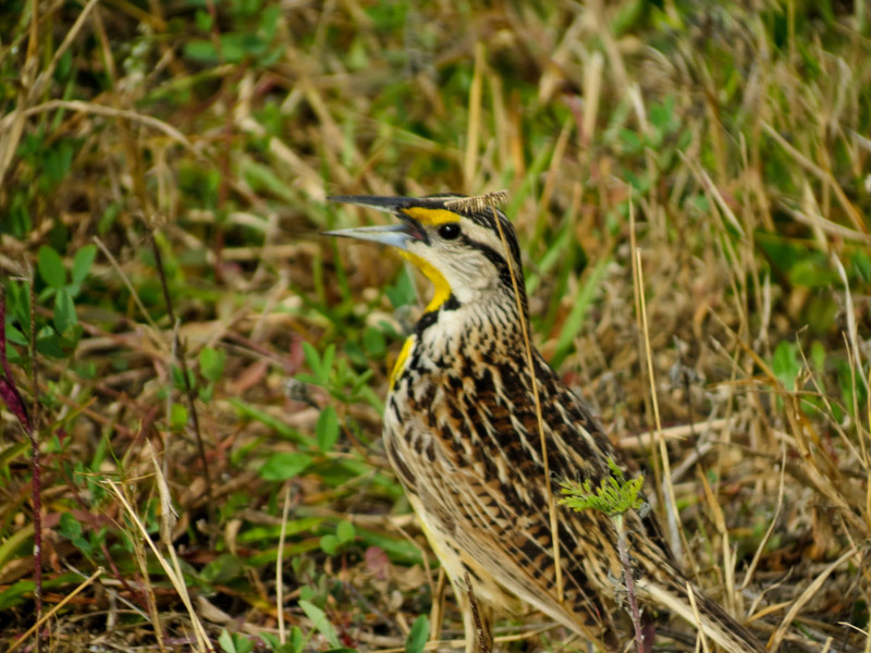 Meadowlark, Merritt Island NWR, Titusville FL