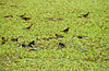 Moorhens and Great-tailed Grackles, Blue Heron Wetlands, Titusville FL