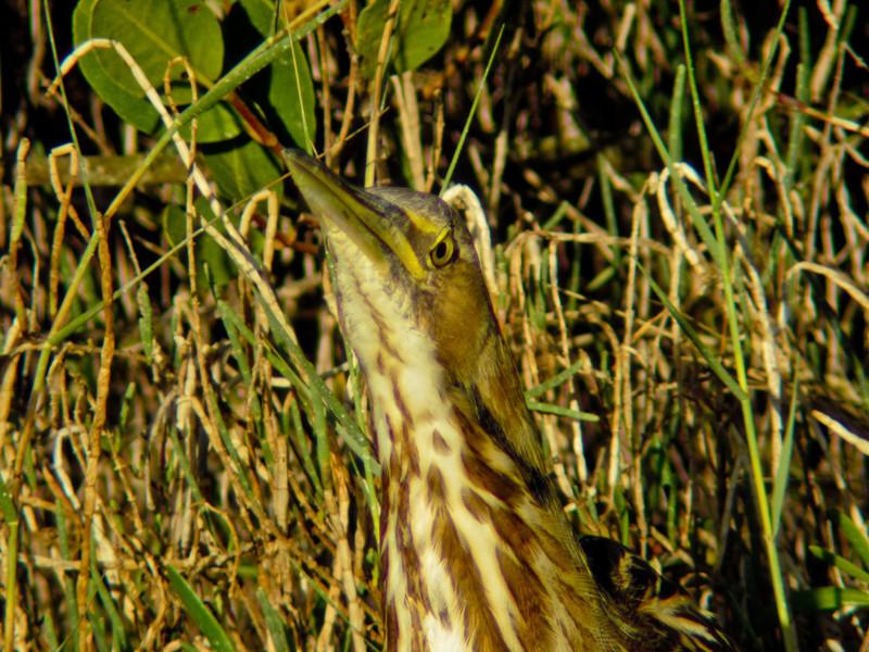 American Bittern, Merritt Island NWR, Titusville FL