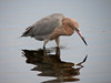 Reddish Egret, Merritt Island NWR, Titusville FL