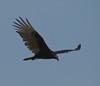Turkey Vulture, Merritt Island NWR, Titusville FL