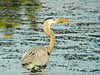 Great Blue Heron, Viera Wetlands, Melbourne FL
