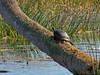 Turtle, Viera Wetlands, Melbourne FL