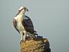 Osprey, Viera Wetlands, Melbourne FL