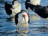 Black Skimmer, Merritt Island NWR, Titusville, FL