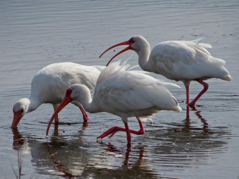 White Ibis, Merritt Island NWR, Titusville FL