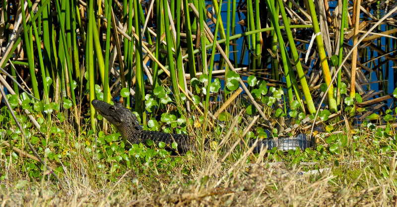 Allegator, Viera Wetlands, Melbourne FL
