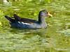 Common Moorhen, Merritt Island NWR, Titusville FL