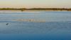 American Avocet, Merritt Island NWR, Titusville FL
