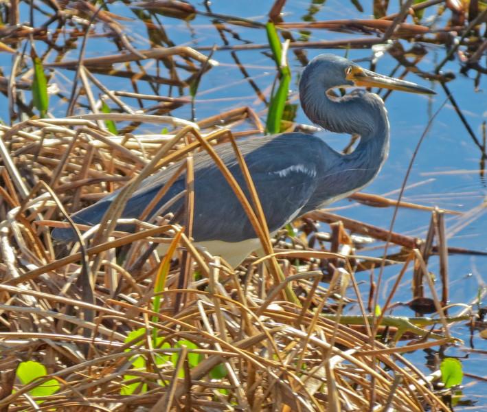 Tricolored Heron, Viera Wetlands, Melbourne FL