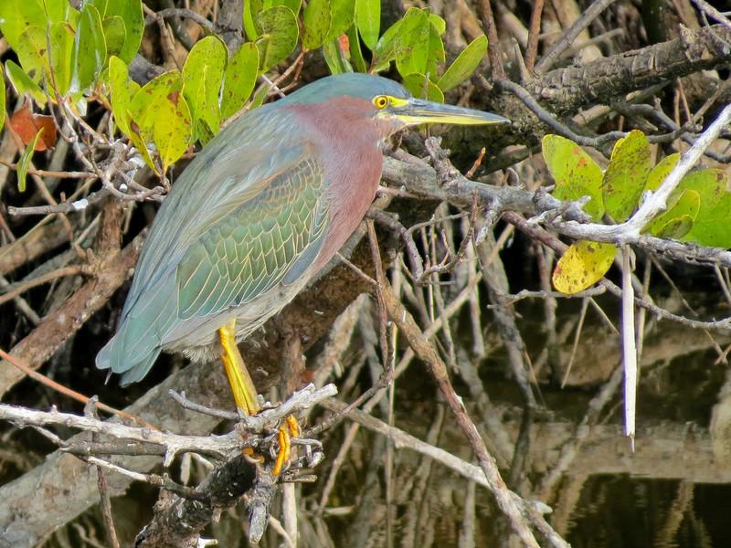 Green Heron, Merritt Island NWR, Titusville FL