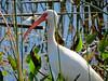 White Ibis, Viera Wetlands, Melbourne FL