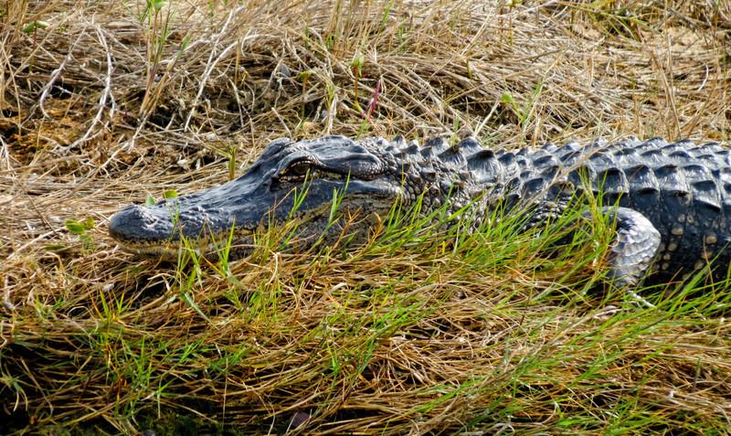 Allegator, Merritt Island NWR, Titusville FL