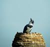 Belted Kingfisher, Viera Wetlands, Melbourne, FL