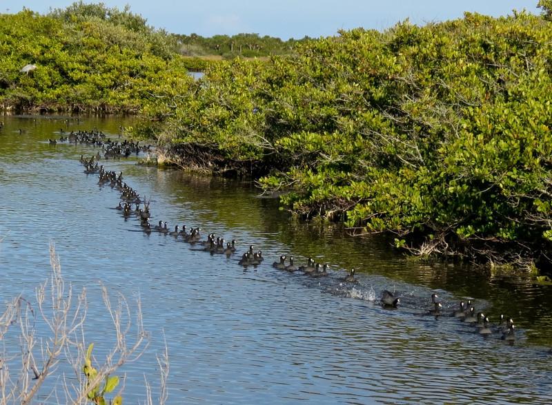 American Coot, Merritt Island NWR, Titusville FL