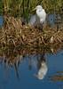 Great Egret, Viera Wetlands, Melbourne FL