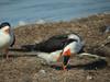 Black Skimmer, Merritt Island NWR, Titusville FL