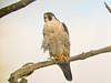 Peregrine Falcon, Merritt Island NWR, Titusville FL