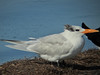 Royal Tern, Merritt Island NWR, Titusville FL