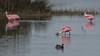 Roseate Spoonbill, Merritt Island NWR, Titusville FL