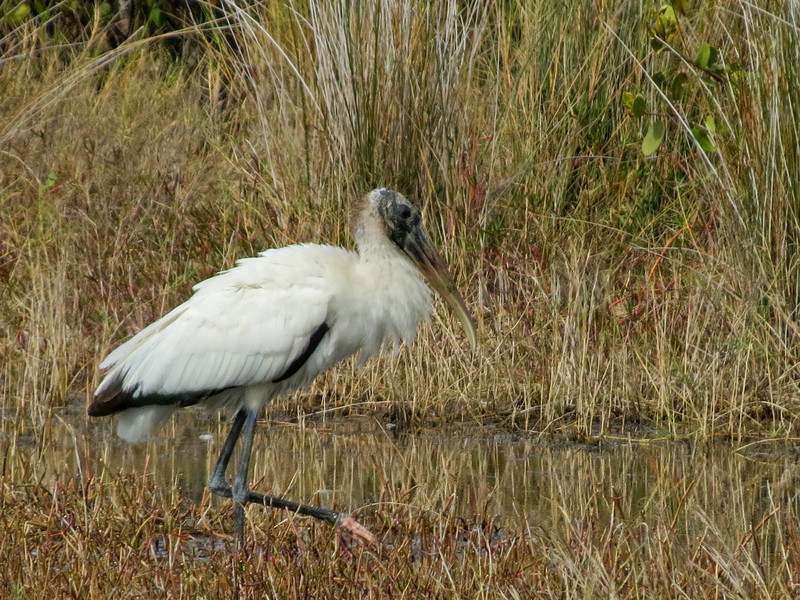 Wood Stork, Merritt Island NWR, Titusville FL
