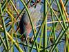 Green Heron, Viera Wetlands, Melbourne FL