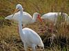 Mixed Waders. Merritt Island NWR, Titusville FL