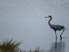 Redish Egret, Merritt Island NWR, Titusville, FL