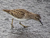 Least Sandpiper, Merritt Island NWR, Titusville, FL