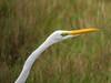 Great Egret, Merritt Island NWR, Titusville, FL