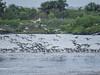 Gulls, Merritt Island NWR, Titusville, FL